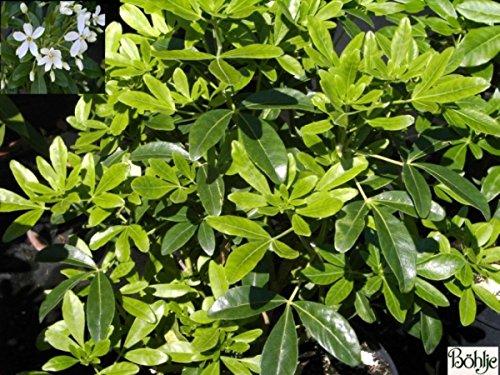 Choisya ternata - Orangenblume - immergrün - duftend - 30-40 cm