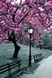 GB eye LTD, Central Park, Blossom, Maxi Poster, 61 x 91,5 cm