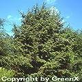 Kanadische Hemlocktanne 125-150cm - Tsuga canadensis von Baumschulen - Du und dein Garten
