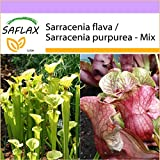 SAFLAX - Sarracenia - 10 semi - Sarracenia flava/S. purpurea - Mix