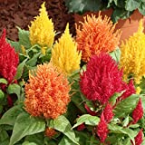 #3: Celosia Plumosa Mixed Flower Desi Seeds Summer Variety Special for Home and Balcony Gardening (Buy 1 Get 1 Free) By Kraft Seeds