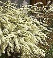 Baumschule Anding Weiße Rispenspiere Spirea cinerea - Grefsheim - 40-60 cm von Baumschule Anding - Du und dein Garten