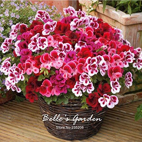 5pcs véritable Mix-couleurs Pot Géranium Graines Géranium Graines de fleurs vivaces Pelargonium Bonsai plante vivace plante bricolage # R54