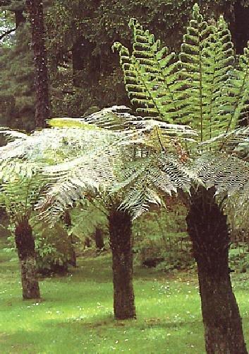 TROPICA - Antarktischer Baumfarn (Dicksonia antarctica) - 500 Samen