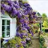 10 graines de plantes glycines extérieur violet Wisteria Graines de fleurs pour le jardin de la maison de bricolage Climb rotin fleur