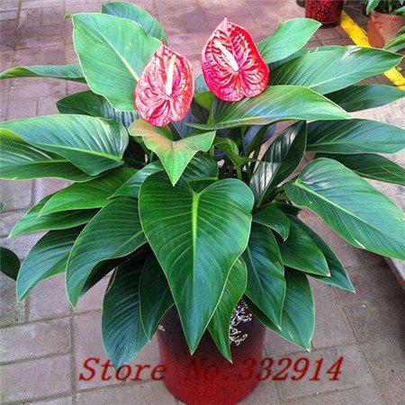 Galleria fotografica Vendita Vendita calda! 100pcs / bag rari semi Philodendron cinesi 20 varietà Bonsai Semi Garden Novel piante Anti-Radiation