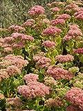 Sedum telephium Herbstfreude, 45 Pflanzen im 7/6 cm Topf