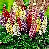Adolenb Seeds House-Maison Jardin Balcon Bonsai Plante Belle Rainbow Frutti Lupin Graines De Fleurs Graines