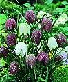 Schachbrettblume Fritillaria meleagris, 20 Zwiebel Größe 5/6 von Amazon.de Pflanzenservice - Du und dein Garten