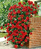 Best Climbing Roses - Green Gardens Aster Red Climbing Rose Seeds Rosa Review