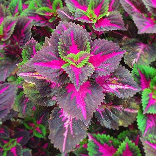 Cioler Samen, 100pcs Selten Coleus blumei Samen,Coleus Samen Blumensamen Bonsai Pflanzen Samen für Heim & Garten