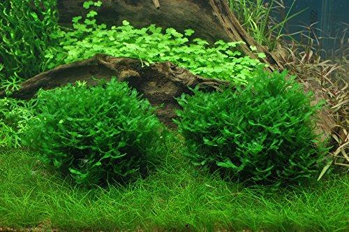 Tropica Monosolenium tenerum liverwort 1-2-Grow Tissue Culture In Vitro Live Aquarium Plant Shrimp Safe & Snail Free 3