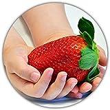 Fragaria Ananassa / Fraises géantes / 50 graines / La plus grande fraise du monde / Bon goût - vitamines