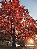 Artland Qualitätsbilder I Bild auf Leinwand Leinwandbilder Wandbilder 60 x 80 cm Botanik Bäume Laubbaum Foto Rot C8UQ Herbst Farben Sonnenuntergangs Park Schweden