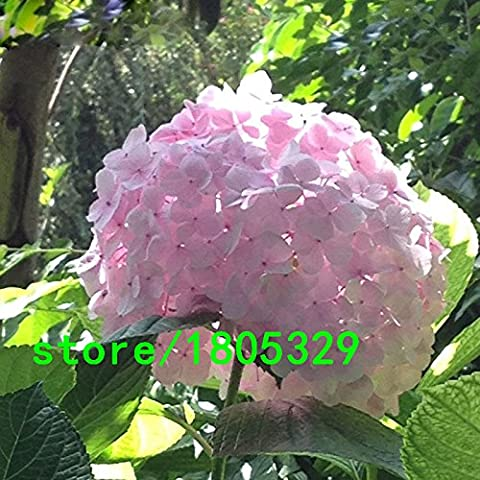 Venta caliente raras Semillas Flor rosada del Hydrangea Bonsai Bonsai Fort Viburnum Semillas de plantas Hydrangea macrophylla 100PCS
