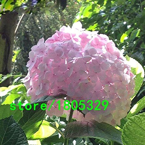 Vendita calda rare semi di fiori di ortensia rosa bonsai Fort Viburnum Hydrangea macrophylla semi Bo