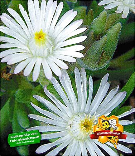 BALDUR-Garten Winterharte weiße Eisblume'White Wonder', 3 Pflanzen, Delosperma congesta Album Steingarten Stauden