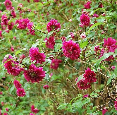 rubus-spectabilis-olympic-double-purch-salmonberry-plant-in-9cm-pots