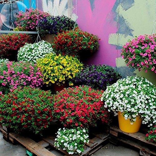 YoYoBoo 2016 Nouvelle-Kabloom Calibrachoa-mixte Bonsai-Hanging-Petunia-200-pack-graines-blanc-rouge-jaune-violet-rose mixte professionnel