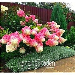Neuer Ankunfts-100 Stk / Packung Vanille-Erdbeer-Hydrangea-Blumen-Samen für Pflanzen der Blumen Bonsai oder Baumsamen-Hausgarten