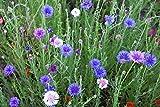 Bottone di fiordaliso, scapolo, varieta perenne - semi