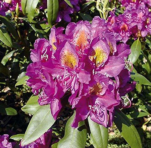 Großblumige Rhododendron Marcel Menard 30-40cm - Alpenrose
