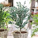 Ultrey Samenshop - Aromatisch Blauer Eukalyptus 'Azura' Baumsamen echter Eukalyptus Garten Pflanzensamen winterhart mehrjährig