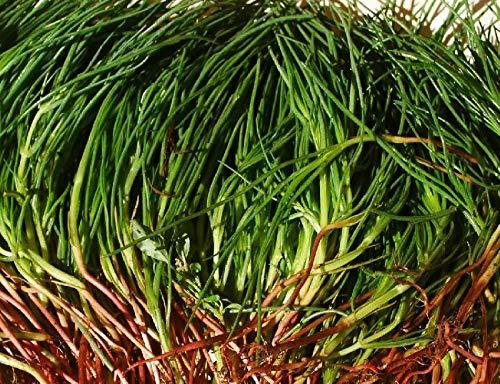 portal cool 100 semi agretti, salsola soda, sale alle erbe, barba, italiano queller