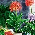 Gärtner Pötschke Blutblume von Gärtner Pötschke auf Du und dein Garten