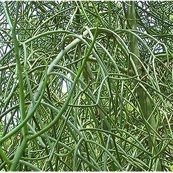 Euphorbia tirucalli - planta suculenta - 10 semillas