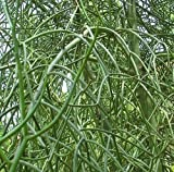 Euphorbia tirucalli - Bleistiftstrauch - 10 Samen