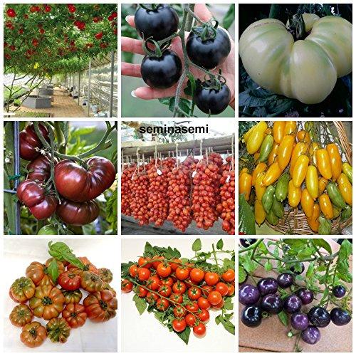 90 graines de tomate dans 9 variétés de substances nutritives rares et riche, COLLECTION 2: 10 POMODORO GIGANTE ITALIANO, 10 CILIEGINO NERO, 10 GIGANTE BIANCO,10 BLACK KRIM, 10 PIENNELO DEL VESUVIO,10 GAMBE DI BANANA,10 COSTOLUTO FIORENTINO,10 CERISE,10 CILIEGINO BLU'