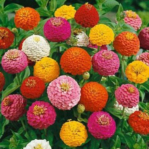 E plant Zinnia Mix Flower Seeds (Pack Of 50)