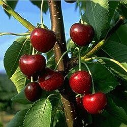 Obstbaum Kirsche Kirschbaum Busch Form rot große schwarze Knorpelkirsche Süßkirsche 120-160 cm - hochwertige Baumschul Qualität direkt vom Fachhändler