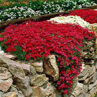 sanhoc nuovo arrivo piante di giardino domestiche di 100 pezzi all'aperto perenne phlox bonsai, piantare piante phlox fiore di trasporto 5