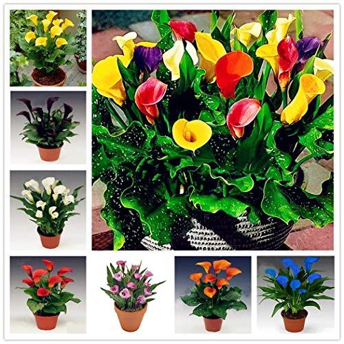 Plentree 06, Blumenzwiebeln für Calla-Lilien, Nicht für Calla-Lilien, Samen