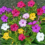 Mirabilis jalapa - Wunderblume - Sg - Samen