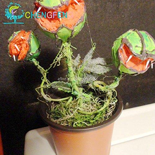 Hot Sale 100pcs semences Potted insectivores Plante Dionaea Muscipula géant des Clip Venus Flytrap Seeds Expédition gratuite Plante carnivore