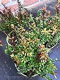 Cranberry Vaccinium macrocarpa Moosbeere Beeren Pflanzen 1stk.