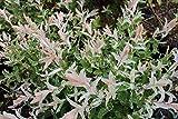 Harlekinweide 'Hakuro Nishiki' - starke Pflanze im grossen 5lt Topf
