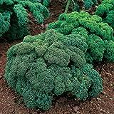 seekay chou frisé ( chou kale ) Dwarf vert frisé - environ 3,000 graines - Légumes
