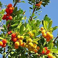 Semillas de Strawberry Tree - Arbutus unedo