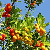 Strawberry Tree Seeds - Westlicher Erdbeerbaum
