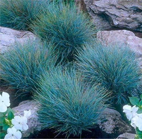 Portal Cool Festuca Glauca 'Blaufuchs†- Blue Grass (3 X Large Plug Plant)