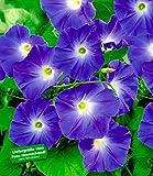 BALDUR-Garten Trichterwinde 'Blue Hardy'