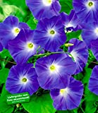 BALDUR-Garten Trichterwinde 'Blue Hardy', 1 Pflanze Ipomoea indica Kletterpflanze winterhart Prunkwinde