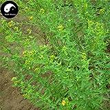 PLAT FIRM KEIM SEEDS: 100pcs: Kaufen Johanniskraut Kräutersamen Pflanze Hypericum perforatum Guan Ye Lian Qiao