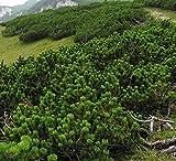 Semi di pino di Mugo - Pinus mugo