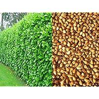 Portal Cool 100 Semi Prunus Laurocerasus Laurier-Cerise haie Haies Boundary clôtures Couvertures