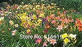 Taglilie Taglilie Seeds Einzigartige 50 Taglilien - Hemerocallis Taglilie Samen Mischfarben-Blumensamen Bonsai Staude Samen